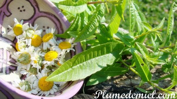 tisane bio maison faire s cher les feuilles de verveine et fleurs de camomille jasmine and. Black Bedroom Furniture Sets. Home Design Ideas