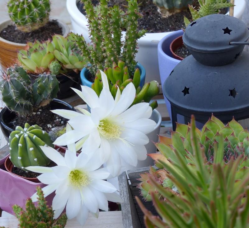 Jolie fleur de cactus blanche