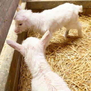 Petite mignonnerie à la fromagerie Lemey Frères de Muides sur Loire  Ces chevreaux sont nés hier 🐐   #chèvre #fromage #loiretcher #loiretchertourisme #local #muidessurloire